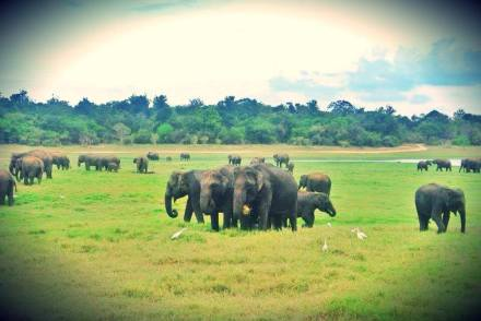 Elephants at Minneriya National PArk