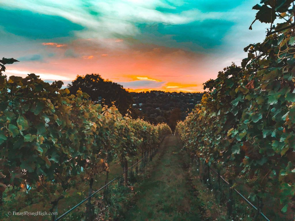 Woodchester Valley Vineyard, Stroud, Cotswold, England