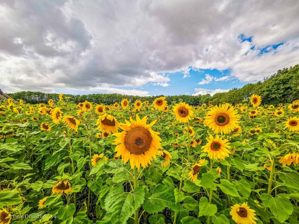 Sunflower Field at the Cotswold Farm Park, Cheltenham, Gloucestershire, Cotswold, England